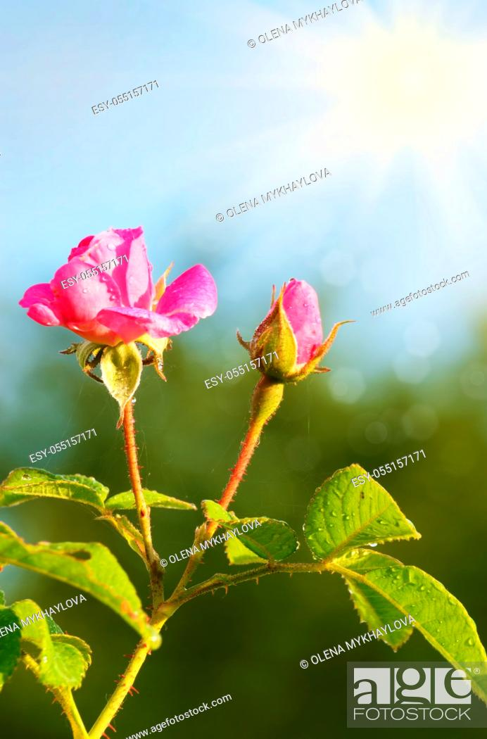 Stock Photo: Pink rose flower over bright green background.