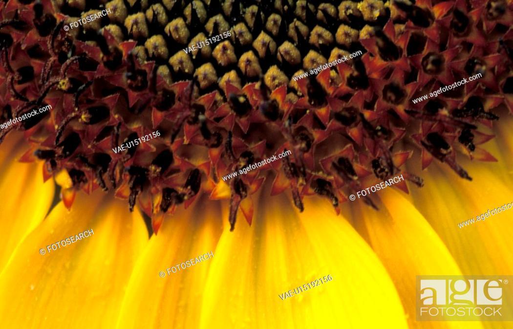 Stock Photo: plant, burgenland, helianthus, flora, calf, robert, austria.