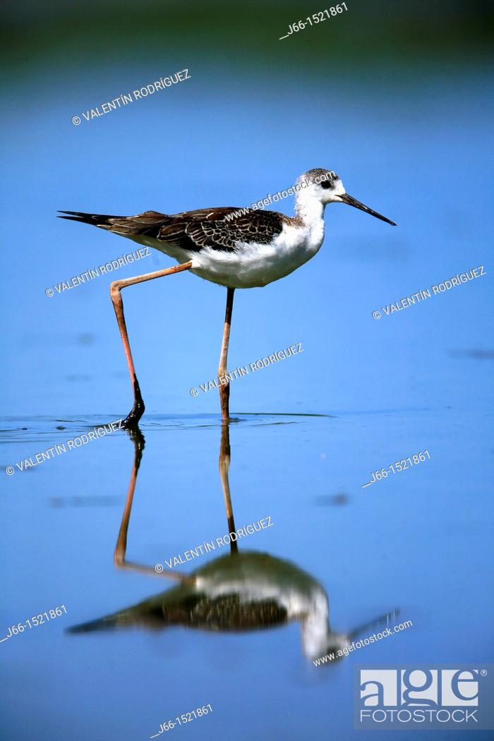 Stock Photo: Black-winged Stilt (Himantopus himantopus) in the Marjal del Moro, Valencia, Spain.