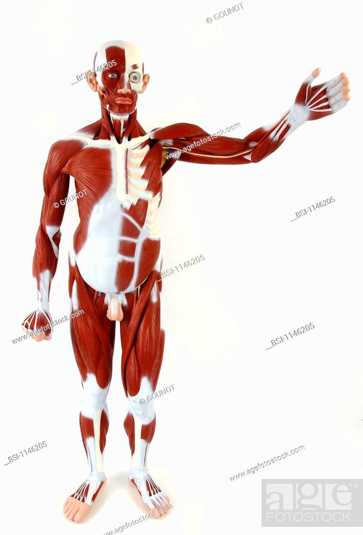 Anatomic model of the muscular system of an adult man face on, Stock ...