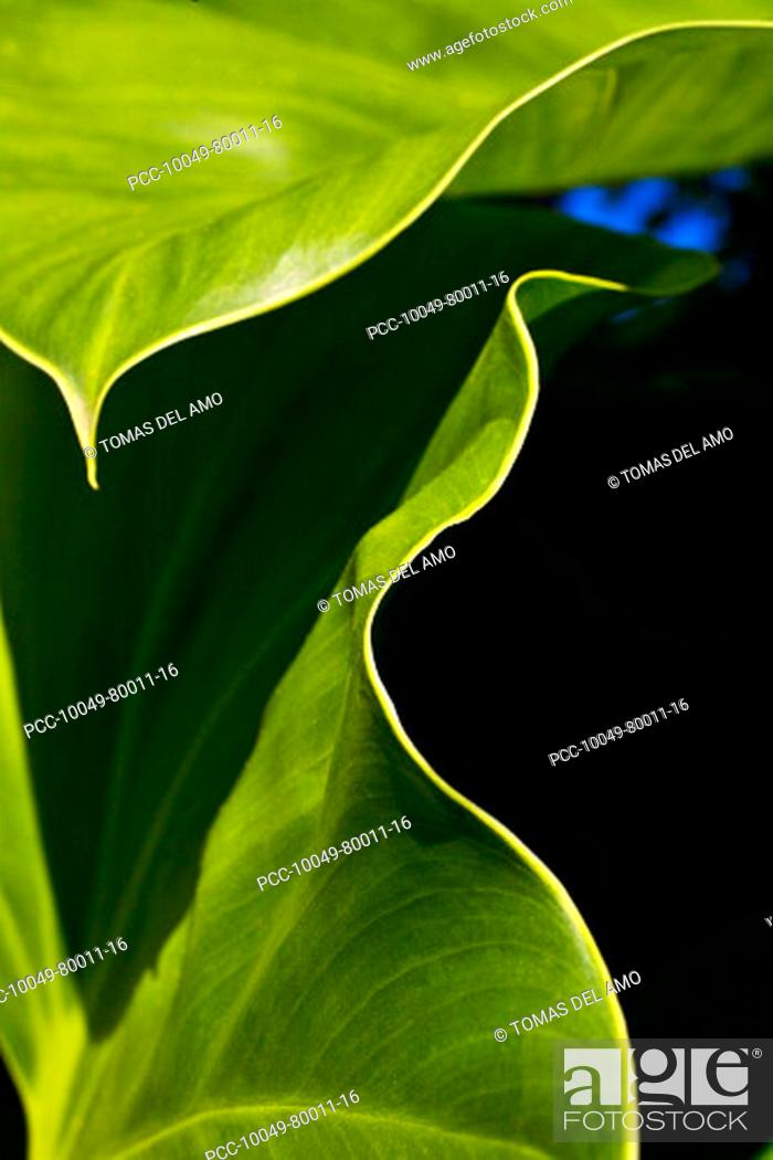 Stock Photo: Close-up of a green leaves, edge of leaves contrasting against dark background.