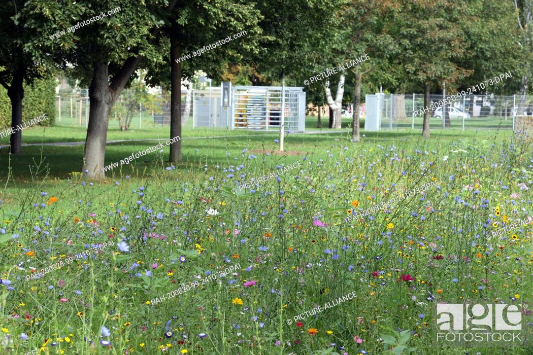 Stock Photo: 20 August 2020, Thuringia, Gera: A colourful flower meadow, taken at the entrance to the Hofwiesenpark. Midsummer weather is also predicted for the next days.