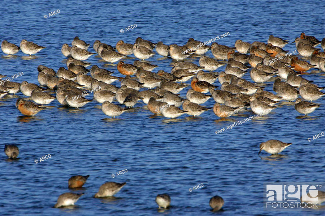 Stock Photo: Red Knotts Texel Netherlands Calidris canutus.