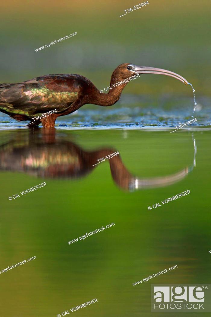 Stock Photo: A Glossy Ibis (Plegadis falcinellus) feeding at dawn at the East Pond of Jamaica Bay National Wildlife Refuge. USA.