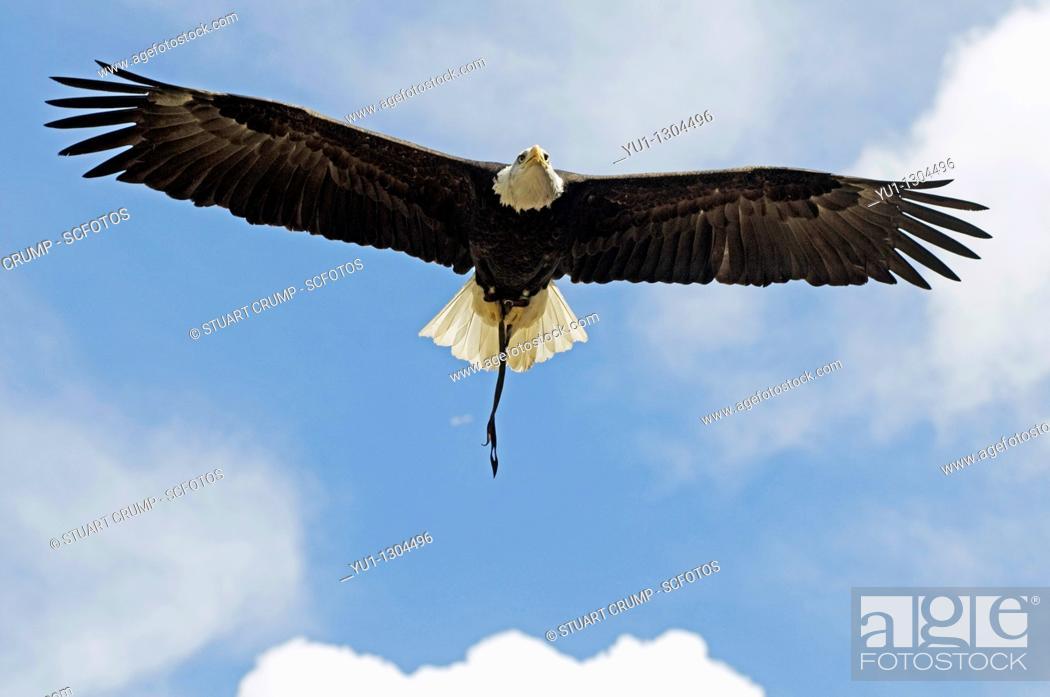 Stock Photo: Bald Eagle bird of prey in full flight.