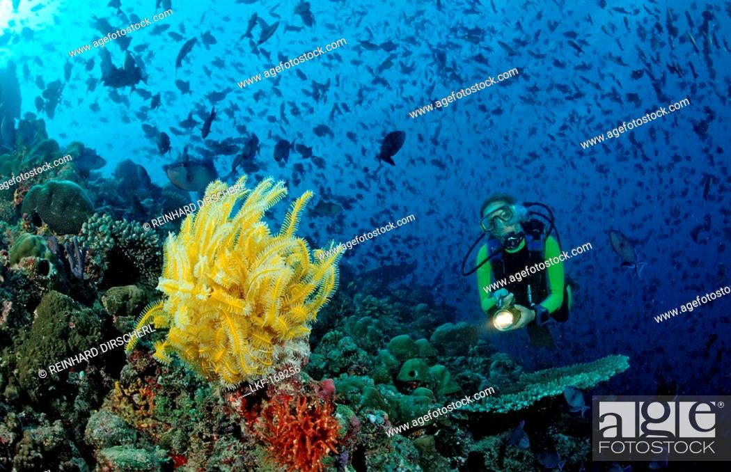 Stock Photo: Diver with yellow Crinoid and scholling Redtooth triggerfishes, Odonus niger, Maldives, Indian Ocean, Meemu Atoll.