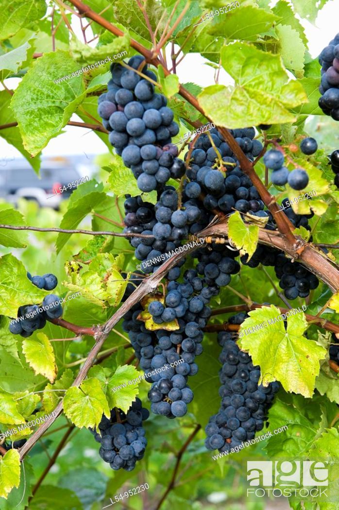 Stock Photo: Grapes on Vines Finger Lakes Region New York.