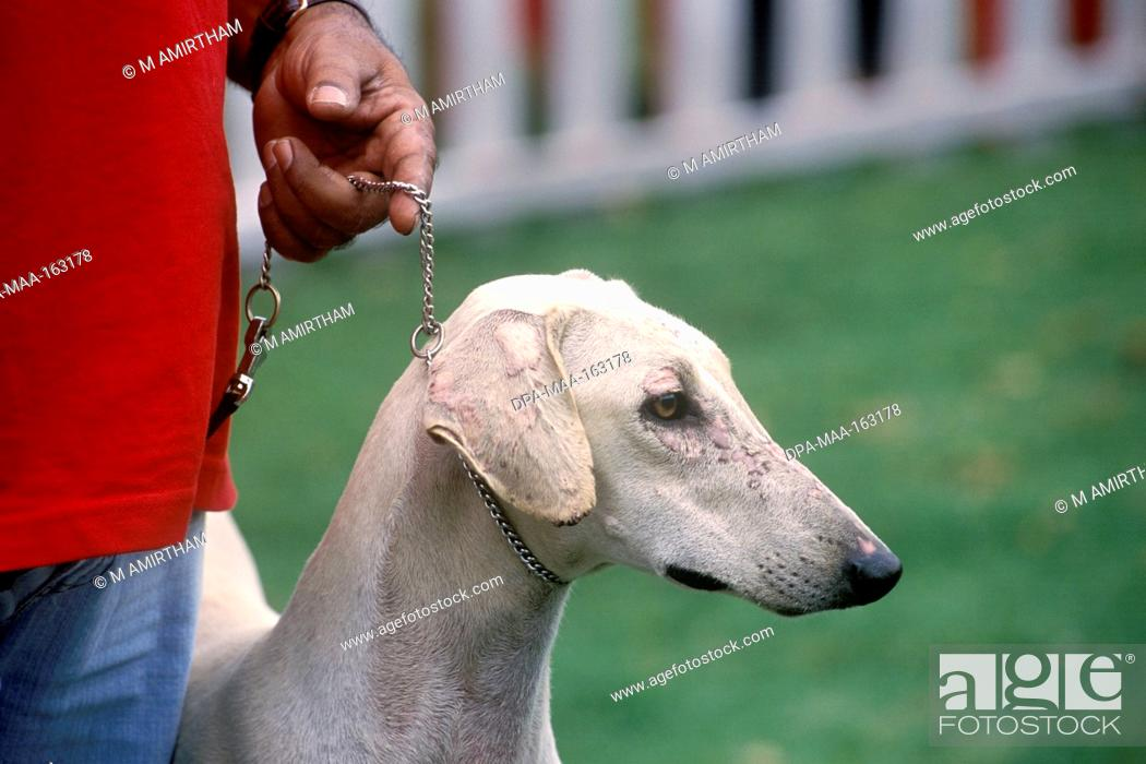 Chippiparai Indigenous dog breed in Dog Show at Ooty