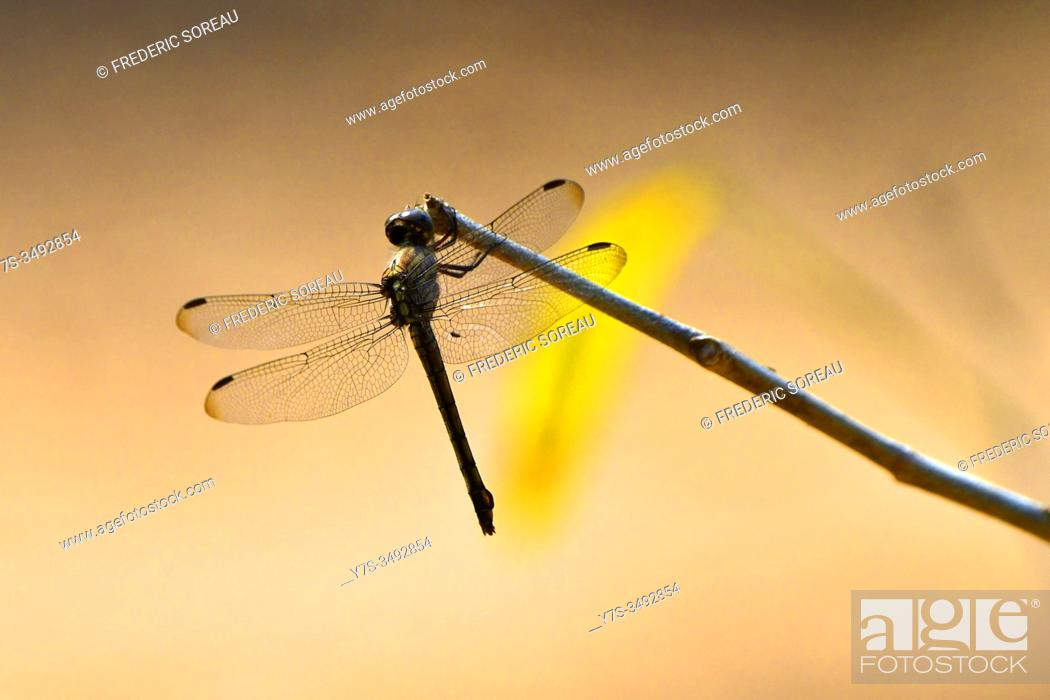Stock Photo: Closeup portrait of a beautiful colorful dragonfly, Cambodia, South East Asia.
