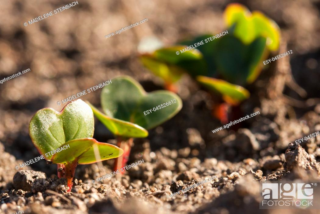 Stock Photo: Young radishes growing in the garden in early spring.