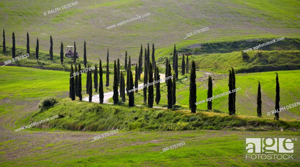 Stock Photo: Cypress-lined road, Chiusure, Province of Siena, Tuscany, Italy.