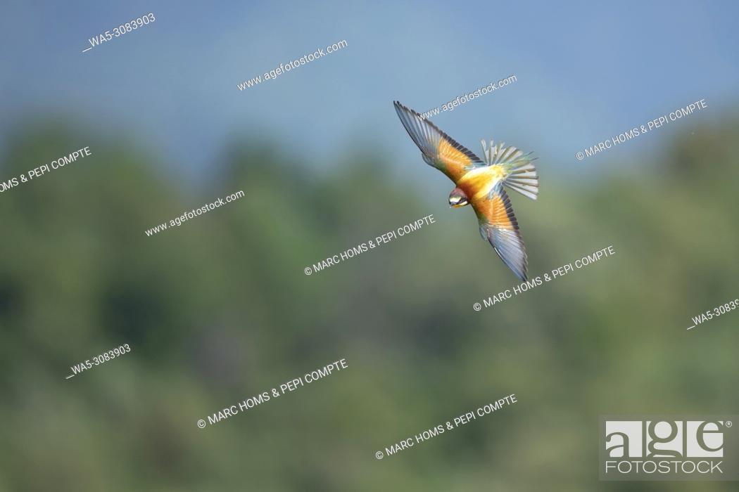 Imagen: European Bee Eater flying in Garrotxa, Catalonia, Spain.