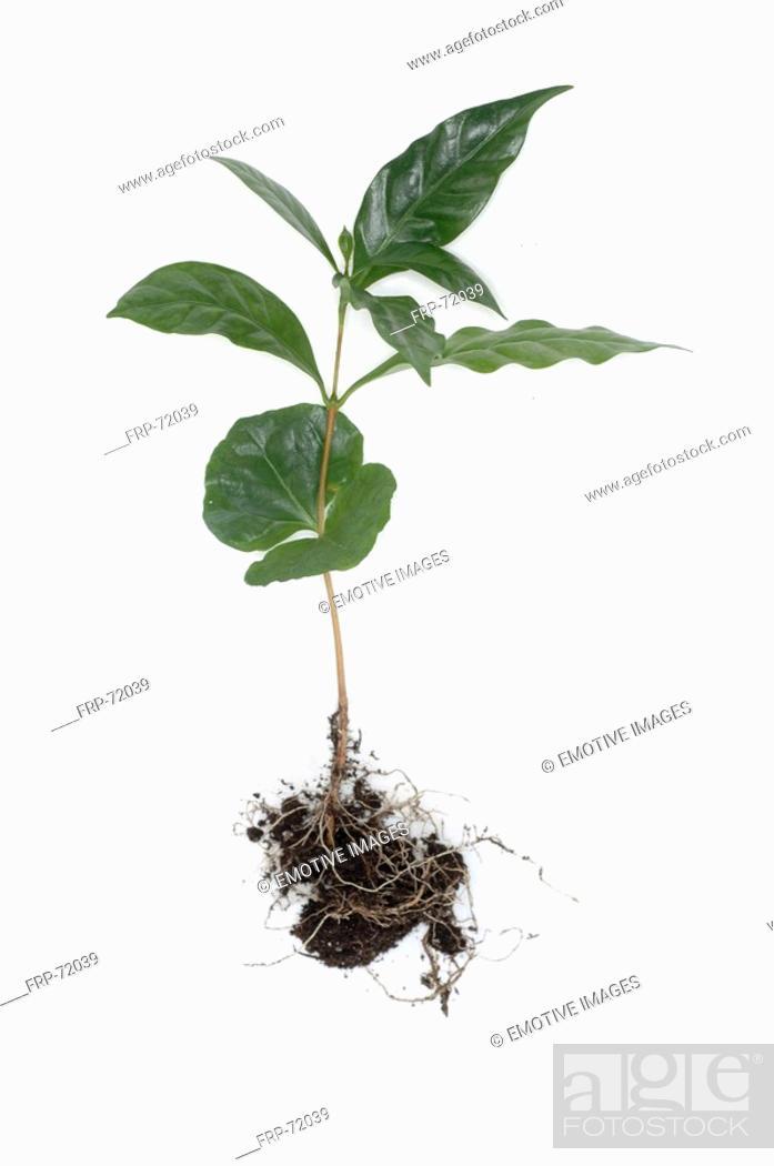 Stock Photo: Coffee plant.