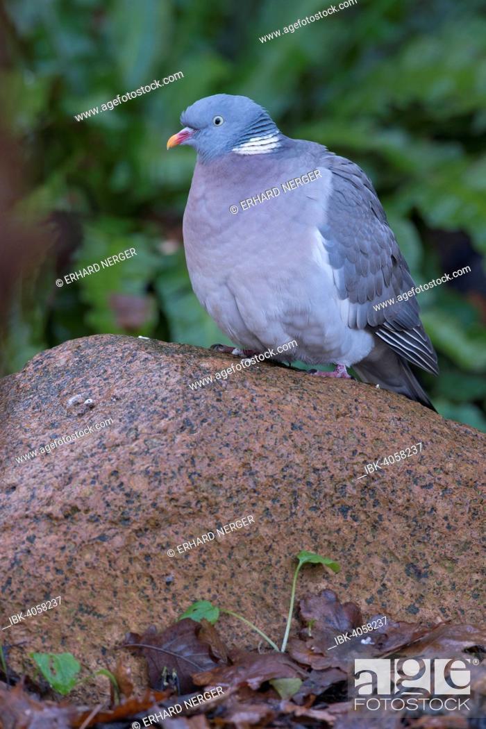 Stock Photo: Wood Pigeon (Columba palumbus), Emsland, Lower Saxony, Germany.