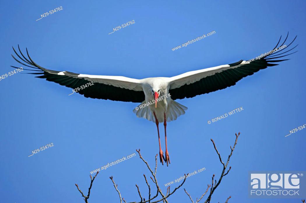 Stock Photo: Ciconia ciconia, White Stork, Germany.