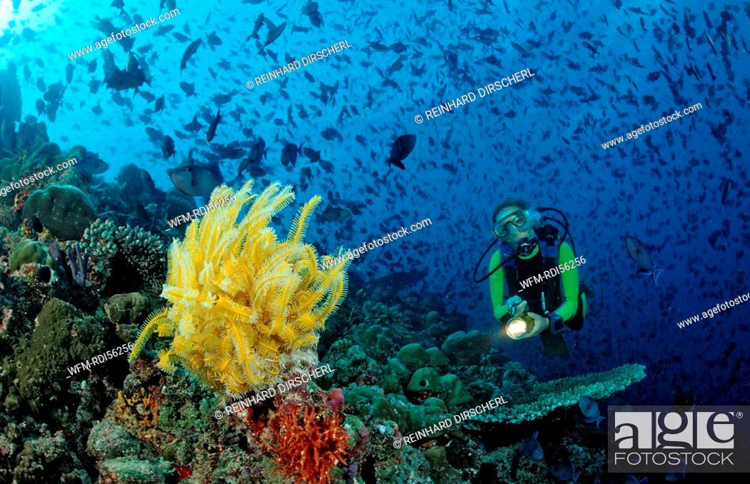 Stock Photo: Diver with yellow Crinoid and scholling Redtooth triggerfishes, Odonus niger, Indian Ocean, Meemu Atoll, Maldives.