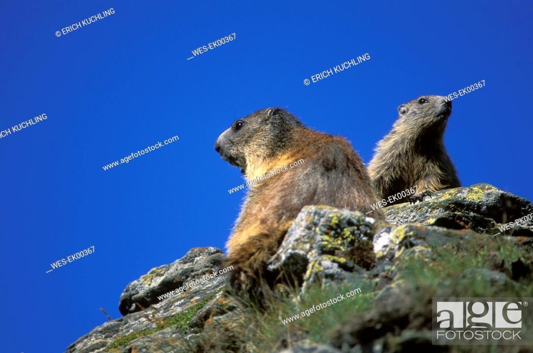 Stock Photo: alpine marmot, Marmota marmota.