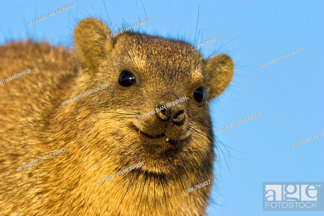 Stock Photo: Portrait of a Cape Hyrax, Rock Hyrax or Rock Dassie (Procavia capensis), Augrabies Falls National Park, South Africa, Africa.