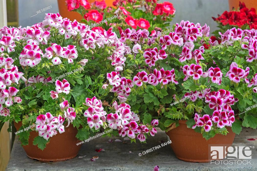 Stock Photo: White geranium flowers with pink spots and green leaves in pots closeup .