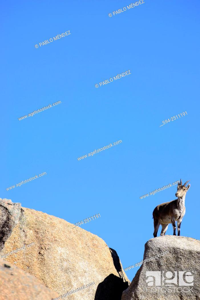 Imagen: Goat (Capra hispanica) in La Pedriza near Manzanares el Real, Madrid, Spain.