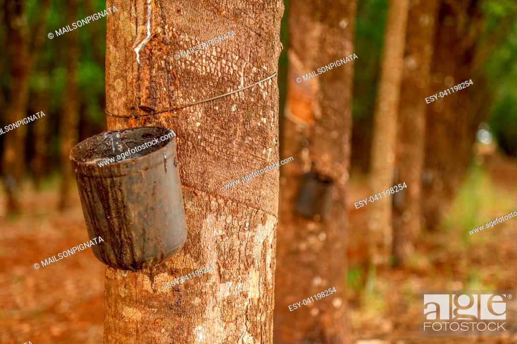 Stock Photo: rubber tree cultive.