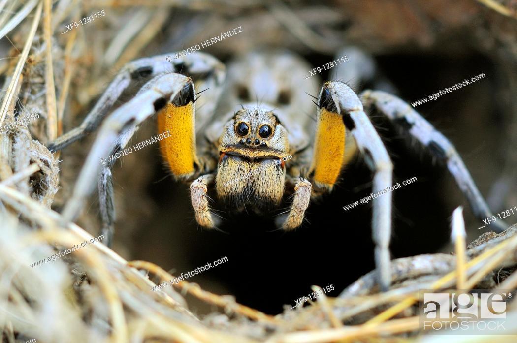 Stock Photo: Wolf Spider.Lycosa tarentula fasciventris.Dehesas de Barcarrota.Badajoz province.Spain.