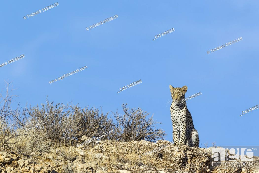 Stock Photo: Leopard (Panthera pardus). Young female. Observing her surroundings from a rocky ridge. Kalahari Desert, Kgalagadi Transfrontier Park, South Africa.