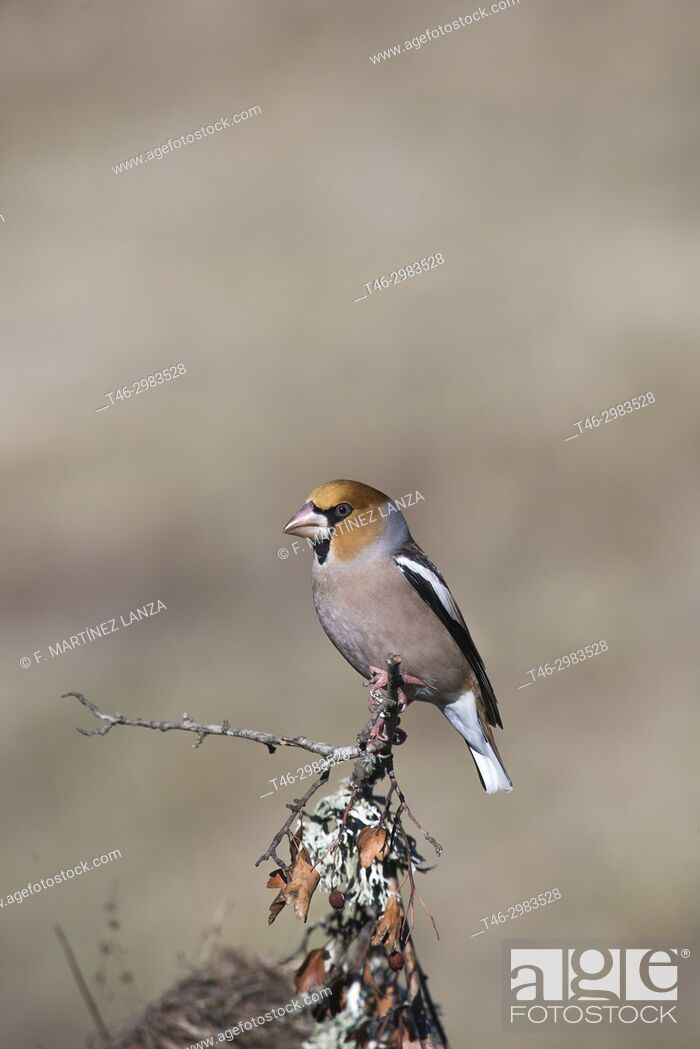 Stock Photo: Hawfinch (Coccothraustes coccothraustes), photographed in the Tietar Valley, Toledo.