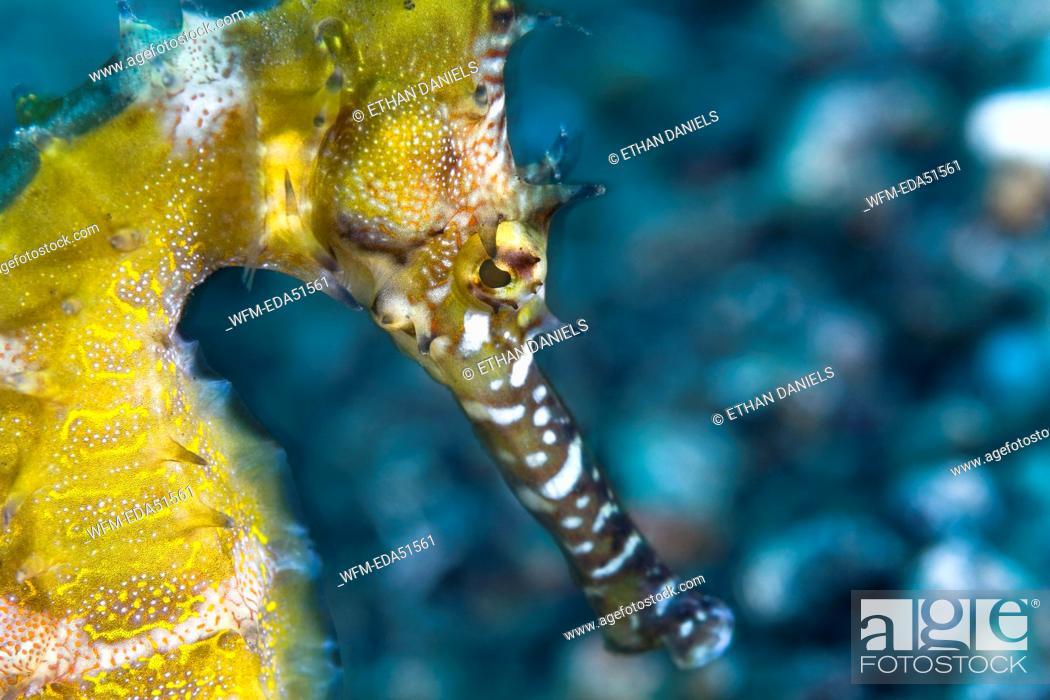 Stock Photo: Yellow Thorny Seahorse, Hippocampus hystrix, Lembeh Strait, Sulawesi, Indonesia.