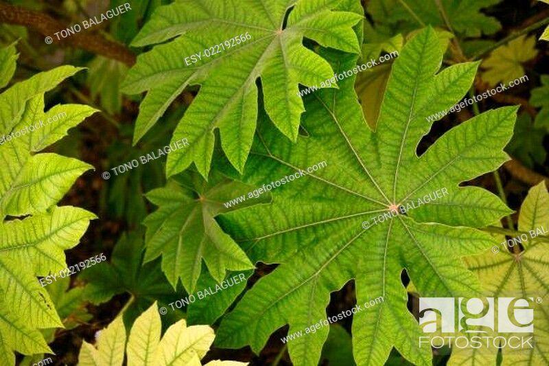 Photo de stock: Aralia papir?fera leaves details Araliaceae from China, macro detail.
