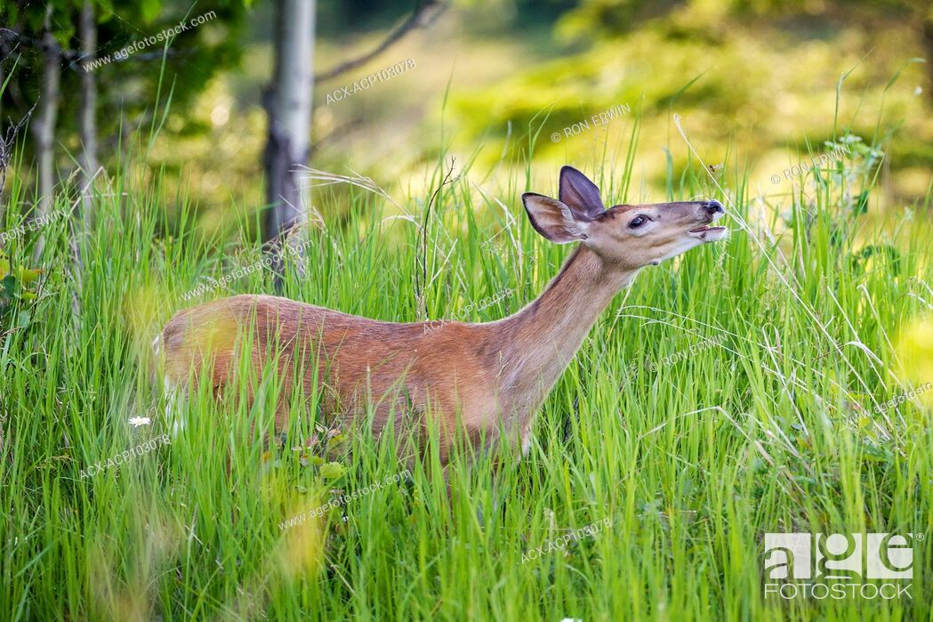Stock Photo: White-tailed Deer (Odocoileus virginianus), Barrie Island, Manitoulin Island, Ontario, Canada.