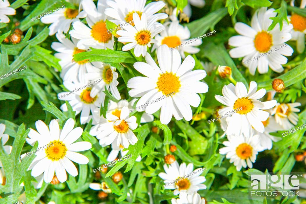 Stock Photo: Daisy Flower Background.