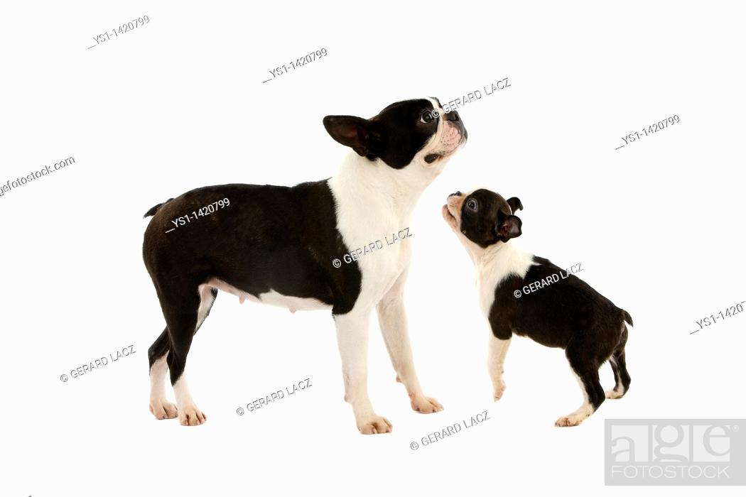 Stock Photo: BOSTON TERRIER DOG, FEMALE WITH PUP AGAINST WHITE BACKGROUND.