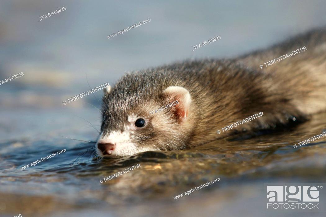 Stock Photo: ferret.