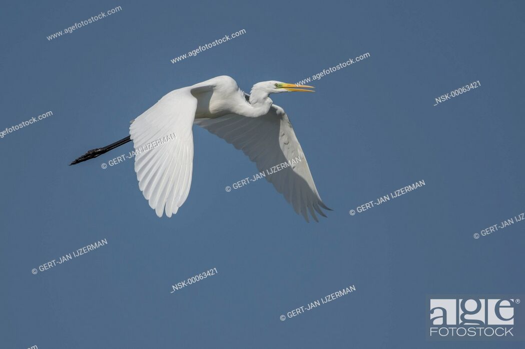 Imagen: Great Egret (Ardea alba) in flight, The Netherlands, Flevoland, Ketelmeer.