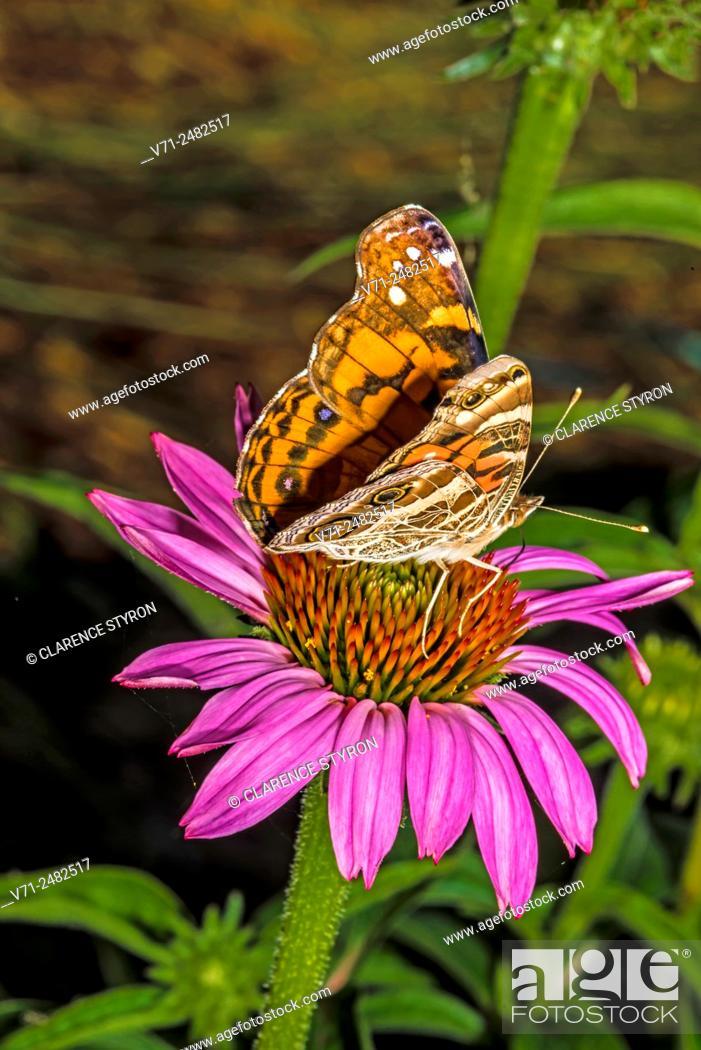 Stock Photo: American Painted Lady Butterfly (Cynthia virginiensis) Feeding on Purple Cone-flower (Echimacea purpurea).
