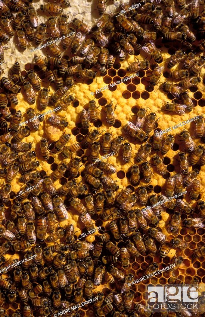Stock Photo: Bees in a cake of wax.