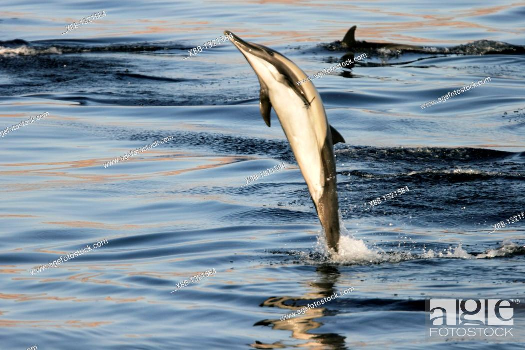 Stock Photo: Long-beaked Common Dolphin Delphinus capensis leaping at sunrise in the Gulf of California Sea of Cortez, Mexico.