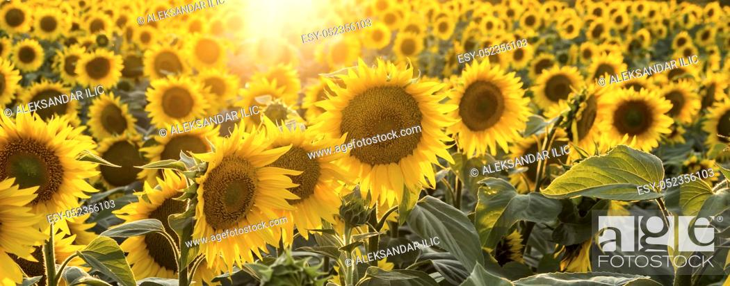 Stock Photo: Sunflowers in the field with focus on the center of the image.