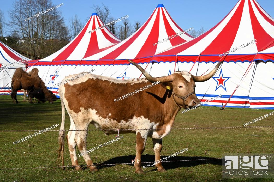 Stock Photo: 22 March 2020, Hessen, Fritzlar: A longhorn cattle and camels (h) of the Circus Paul Busch, which has set up its tents in the Eder floodplains.