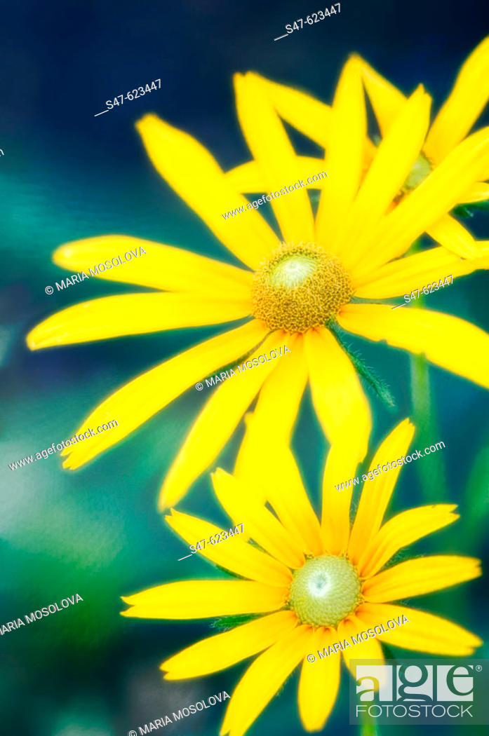 Stock Photo: Rudbeckia Daisies. Rudbeckia hirta 'Prairie Sun'. August 2006, Maryland, USA.