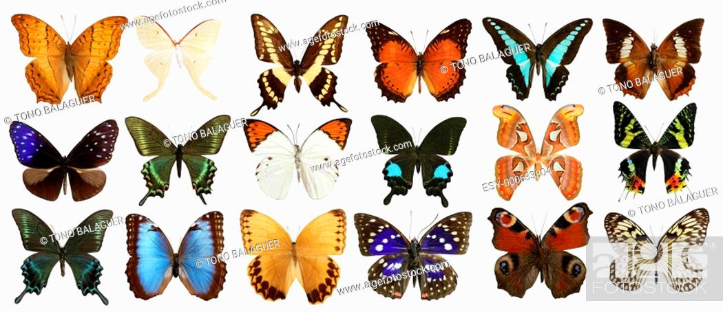 Photo de stock: butterflies collection varied colorful butterfly rows isolated on white.