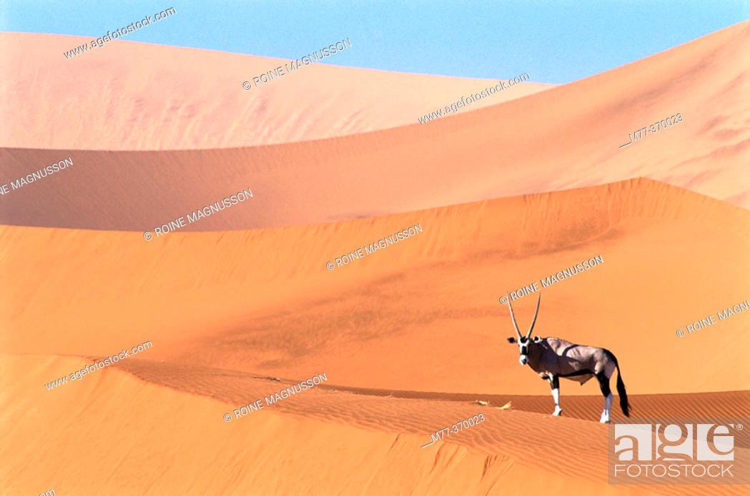 Stock Photo: Oryx (Oryx gazella) on the dunes of Namib-Naukluft National Park. Namibia.