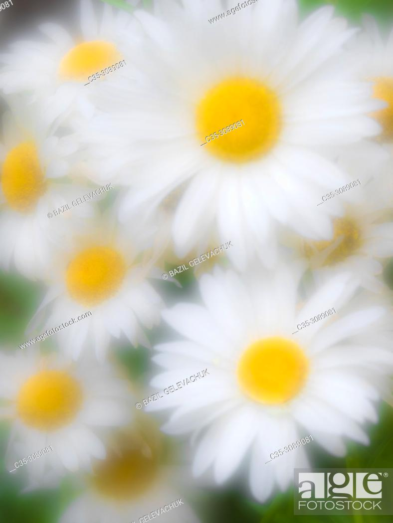 Stock Photo: white daisy photographed with monocle.