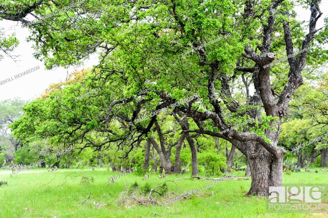 Stock Photo: Live oaks along SR 29 in Burnet County Texas.