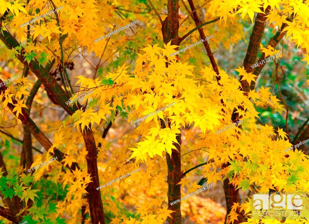 Stock Photo: autumnal tints, tree, maple leaves, maple, autumn, fall foliage, plant.