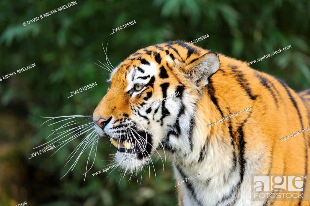 Stock Photo: Portrait of a Siberian tiger or Amur tiger (Panthera tigris altaica).