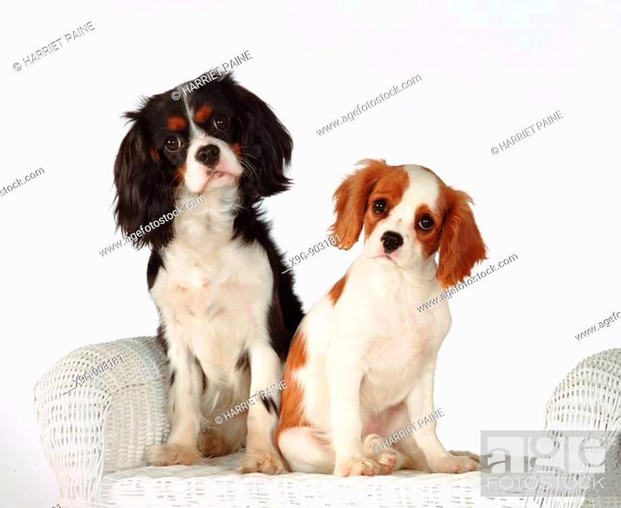Stock Photo: Two Cavalier King Charles Spaniels.