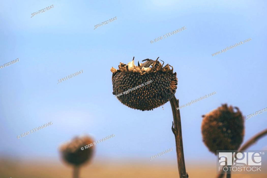 Stock Photo: Dry sunflower crop during drought.