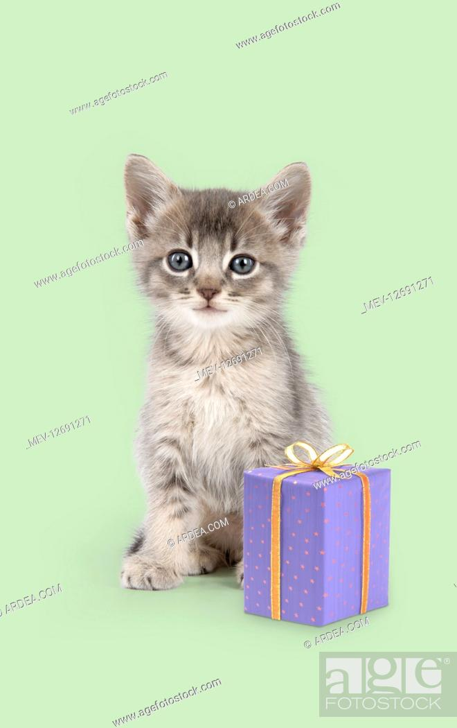 Stock Photo: Somali cross Asian Cat, six week old kitten with present.